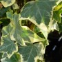 Hedera helix Goldchild