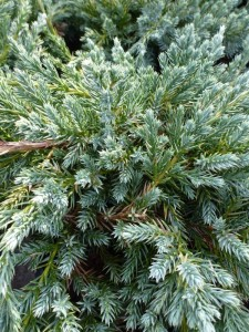 Juniperus squamata Blue Carpet
