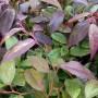 Leucothoe walteri Rainbow – Druifheide