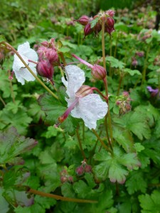 Geranium cantabrigiense Biokovo