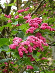 Rode meidoorn bloeitijd