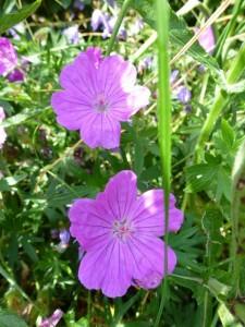 Geranium sanguineum Ankums pride