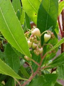 Arbutus unedo in bloei
