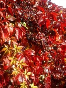 Parthenocissus quinquefolia Engelmanni