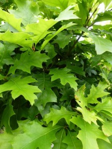 Quercus palustris Green Dwarf