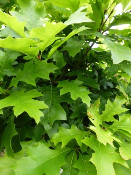 quercus palustris green dwarf bolmoeraseik. Black Bedroom Furniture Sets. Home Design Ideas