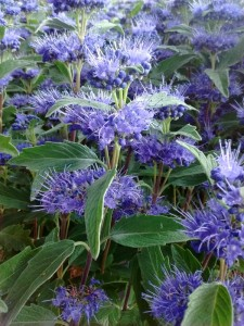 Caryopteris clandonensis Grand Blue