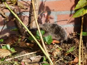 Jonge egel scharrelt in de tuin