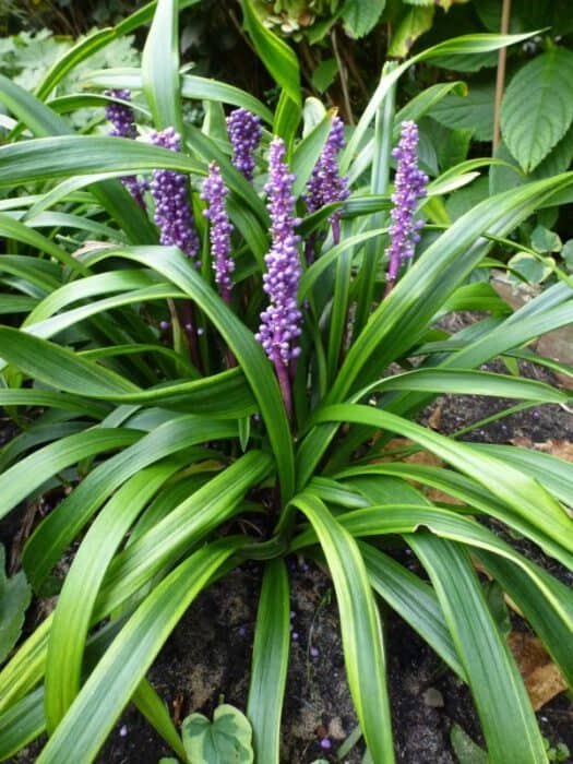 Liriope Muscari Gold Banded Leliegras