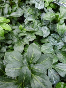 Pachysandra terminalis Green Sheen