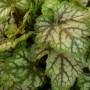 Heuchera Green Spice – Purperklokje