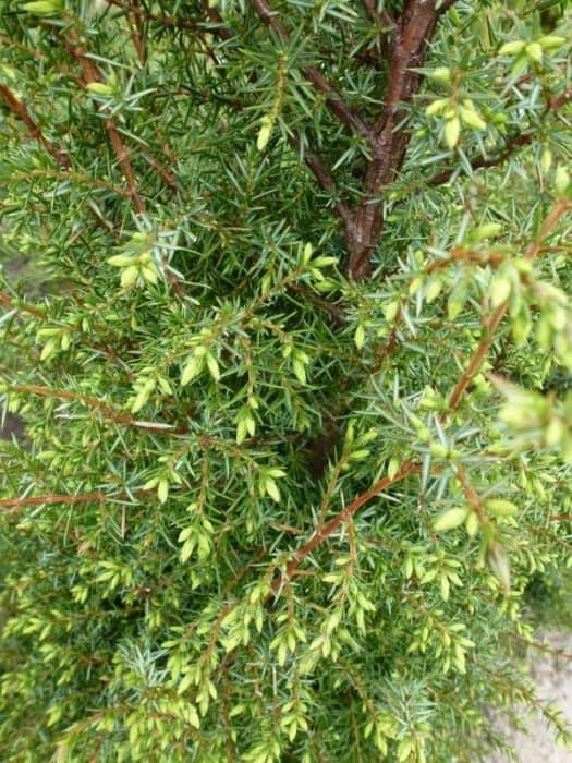 juniperus communis hibernica ierse jeneverbes. Black Bedroom Furniture Sets. Home Design Ideas