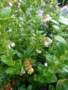 Vaccinium vitis-idaea Miss Cherry