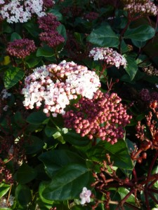 Viburnum tinus Lisa Rose