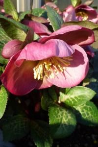 Helleborus Penny's Pink