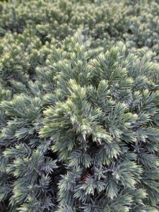 Juniperus quamata Blue Star