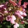 Hydrangea paniculata Early Sensation -Hydrangea paniculata Bulk – Pluimhortensia