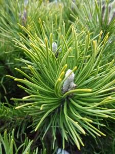 Pinus mugo var. Mugho
