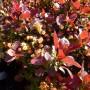 Berberis thunbergii Bagatelle – Japanse Zuurbes