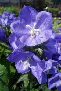 Campanula persicifolia Takion Blue