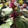 Lamium orvala – Dovenetel; standplaats, bloei en blad