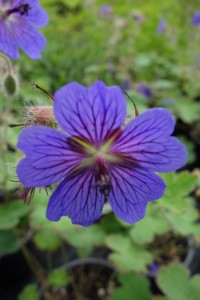 Geranium Terre Franche