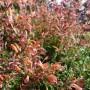 Agastache Fleur – Dropplant – Anijsplant