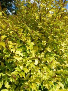Ligustrum Lemon & Lime