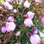 Phylliopsis hillieri Sprite; standplaats, bloei en blad