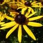 Rudbeckia fulgida Little Goldstar – Zonnehoed