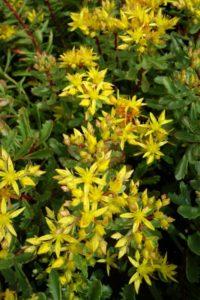 Sedum floriferum Weihenstepaner gold