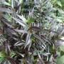 Strobilanthes Anisophyllus Brunetthy – Trompetkruid