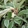 Leucothoe fontanesiana Whitewater – Druifheide