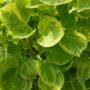 Hydrangea anomala petiolaris Mirranda