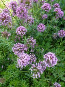 Phuopsis stylosa Purpurea