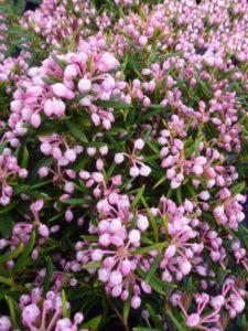 andromeda-polifolia-nikko