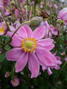 anemone-pretty-lady-emily