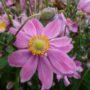 Anemone Pretty Lady Emily – Herfstanemoon