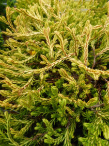 Thuja occidentalis Golden Tuffet