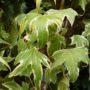 Hedera helix Yellow Ripple – Klimop