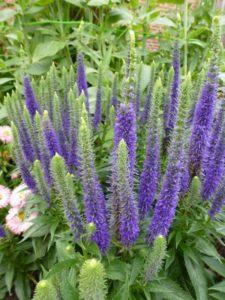 Veronica spicata Ulster Dwarf Blue