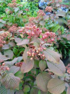 Viburnum plicatum Tennessee