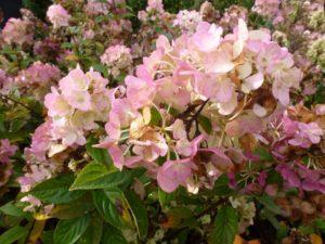 Hydrangea paniculata Sundae Fraise