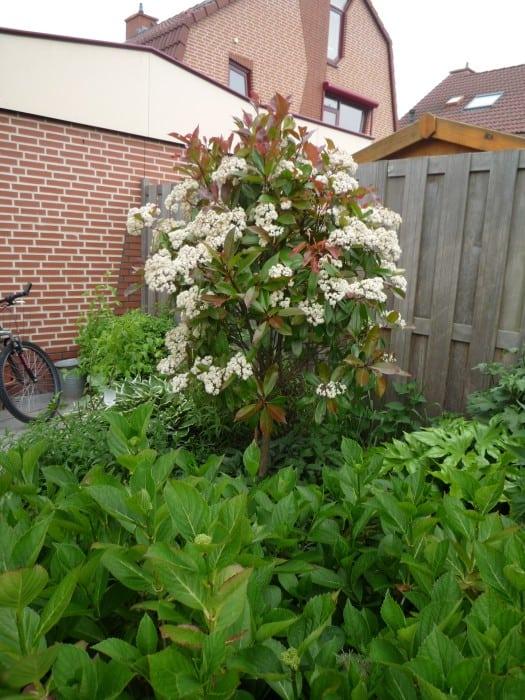 Glansmispel red robin verzorging snoei bloei - Riet voor struik ...