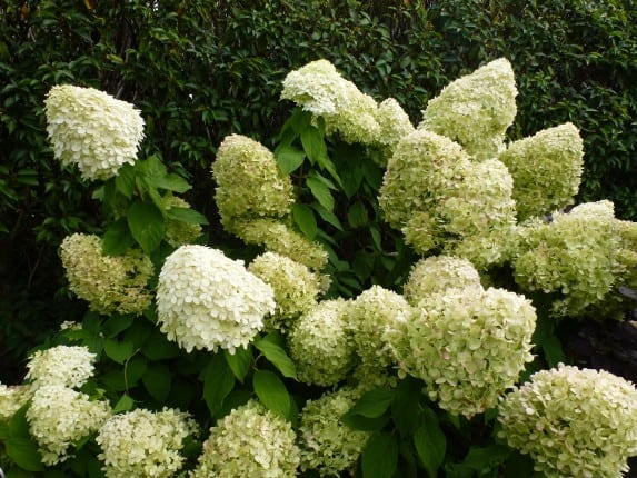 affordable hydrangea paniculata na snoei with snoeien annabel. Black Bedroom Furniture Sets. Home Design Ideas