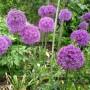 Allium – Sierui