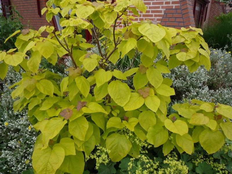 Catalpa bignonioides aurea trompetboom blad bloei for Tuin snoeien