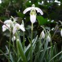 Galanthus nivalis – Sneeuwklokje
