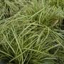 Carex oshimensis Evergold – Zegge