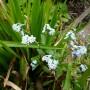 Myosotis Palustris – Moeras vergeet mij nietje